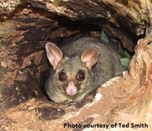 Possum photo